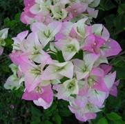 Bougainvillea 'Imperial Thai Delight'
