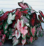 Caladiums on our front porch.