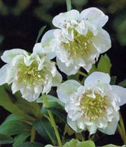 Hellebores even come with double flowers.