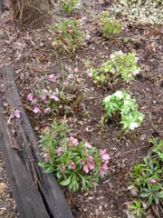 Hellebore Bed in March, After Grooming