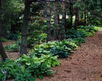 Our Hosta Walk, Just part of our collection!