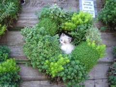 A sedum wreath, complete with kitten.